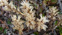Early Coral Root Orchid (Corallorhiza trifida) L Bigelow 2009 Image-8645705-92180552-2-WebSmall_0_e009a4a359e0034d1b9091ec567dd706_1