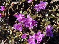 Lapland Rosebay (Rhododendron lapponicum) L Bigelow 2009 Image-8645705-92180560-2-WebSmall_0_db92ad555e20e2525cf8a4e62bf4d343_1