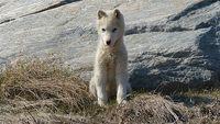 Ilulissat Sled Dog L Bigelow 2009 Image-8645705-92180551-2-WebSmall_0_172377c150b787934f9b87d3718eef66_1