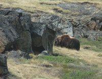 Moskox near Kangerlussuaq L Bigelow 2009 Image-8645705-92180568-2-WebSmall_0_0ee158576e4b42c1665e1450cda73d67_1