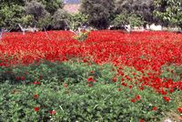 Turkish orchard enveloped in red poppies good 1983 WJK