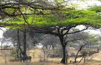 Acacias and zebras