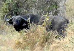 Hidden buffalo