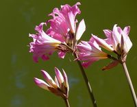 UCD Pink on Pond