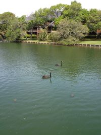Two black swans Myrtle Beach Mya 2013