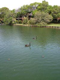 Two black swans Myrtle Beach Mya 2013