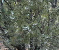 Female_juniper