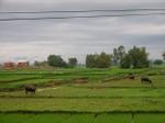Vietnam_countryside_rice_fields_buf