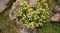 Yellow_alpine_flowers_valplane_7160